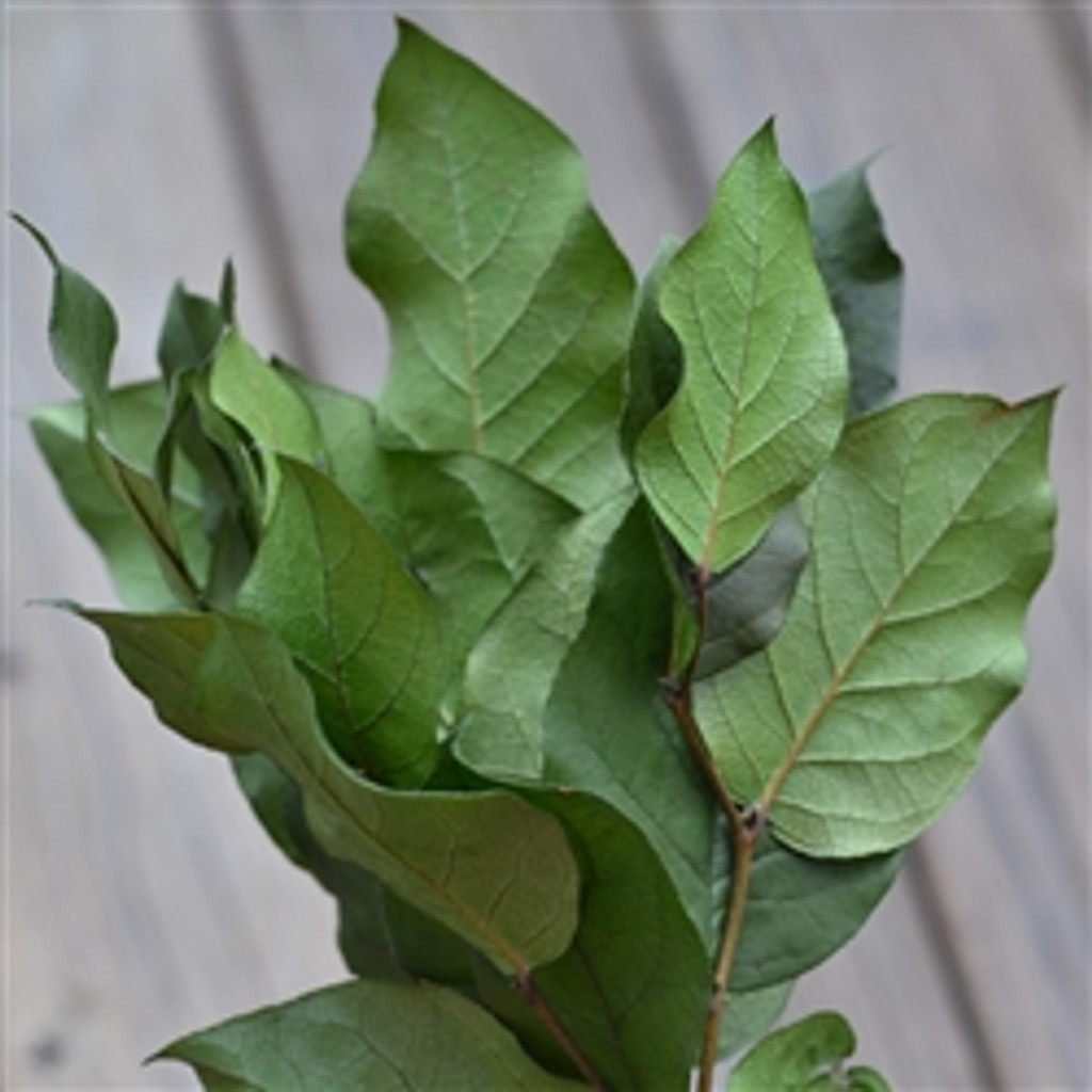 SALAL GREEN 4 OZ - PACKED 12
