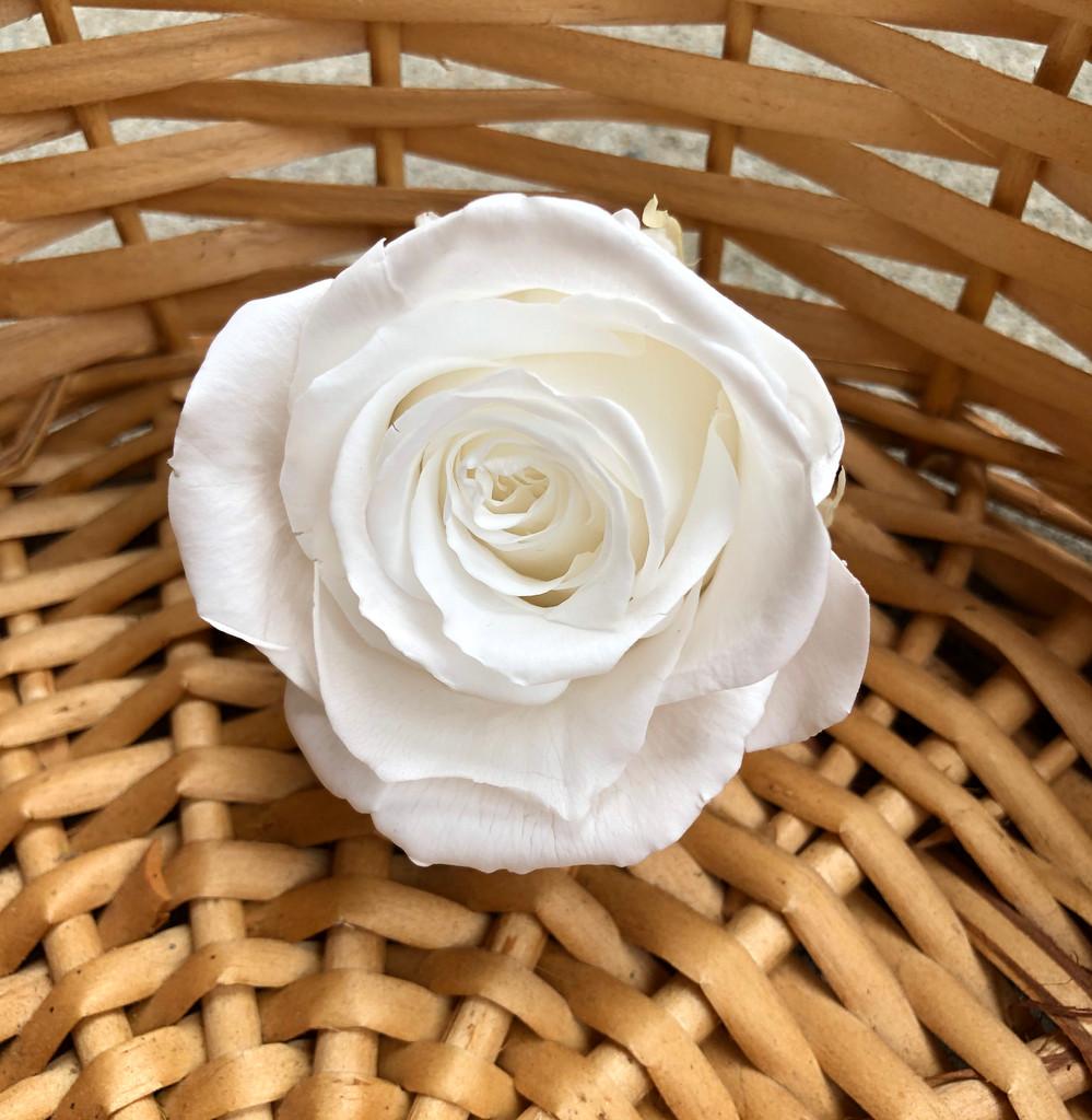PRESERVED ROSE HEAD - WHITE - 5-6 CM DIAM. 6 HEADS