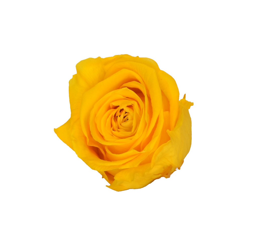 PRESERVED ROSE HEAD - GOLD YELLOW - 5-6 CM DIAM. 6 HEADS