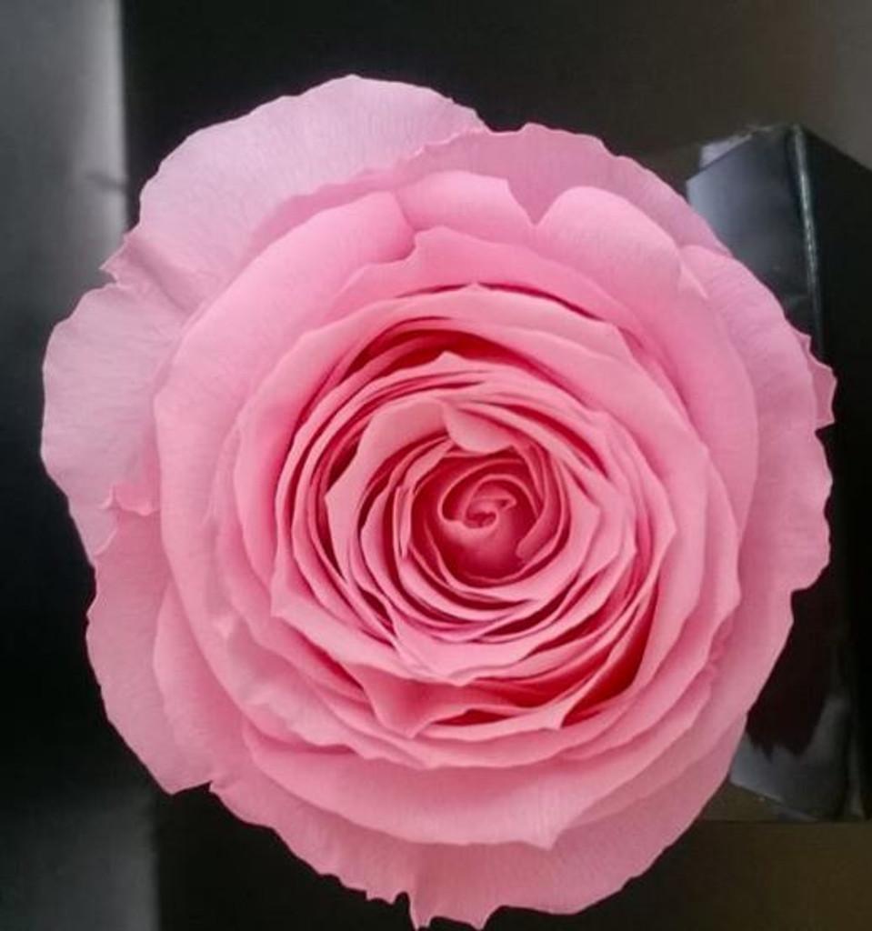 PRESERVED ROSE HEAD - LT PINK - 5-6 CM DIAM. 6 HEADS