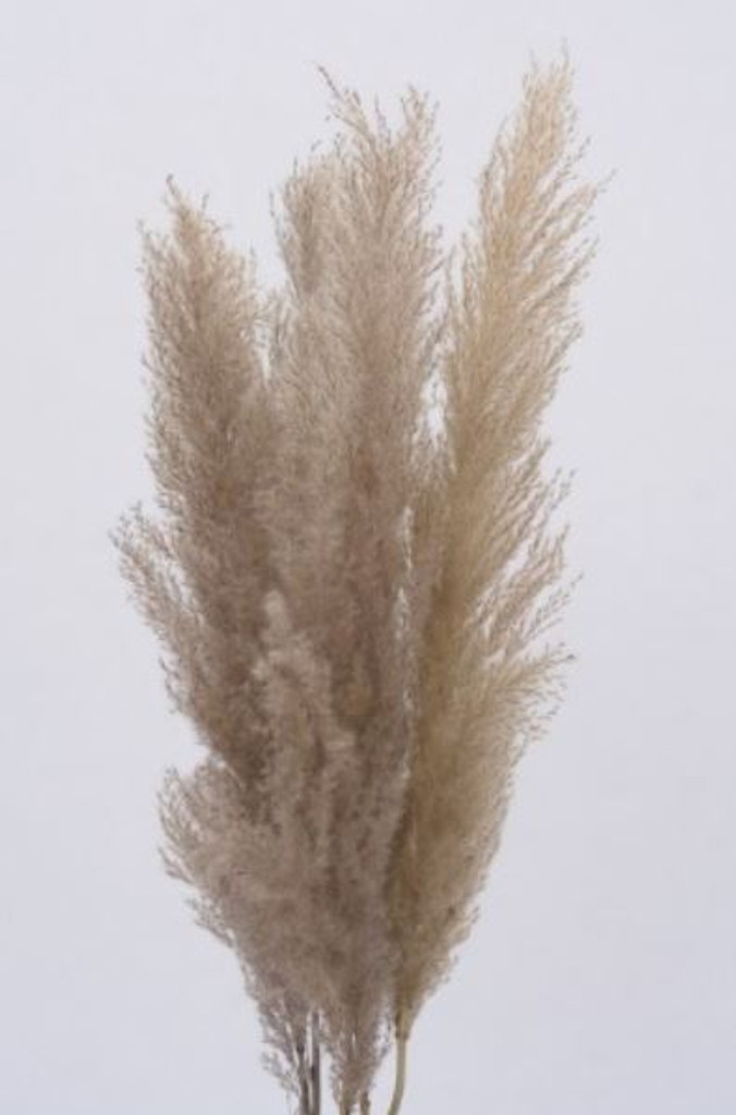 "PAMPAS PLUMES SMALL 48"" NATURAL - 5 PC PACK/24 PACK CASE - 11-19"" HEADS"