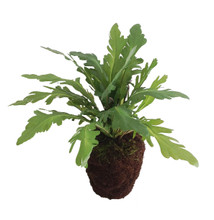 "FERN IN POT 15"" KANGAROO PAW"