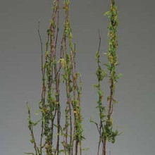 COASTAL RANGE MOSS BRANCHES - (3-4') - 20 BUNCHES