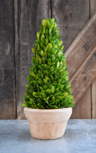 PRESERVED BOXWOOD TOPIARY CONE - 11""