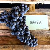 The Amazing World of Malbec