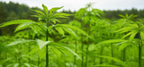More States add hemp to agricultural programs