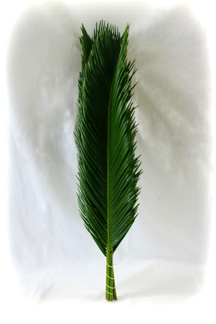 Sago Palm Pack of 6