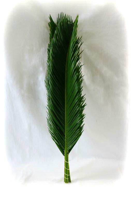 Sago Palm Pack of 5