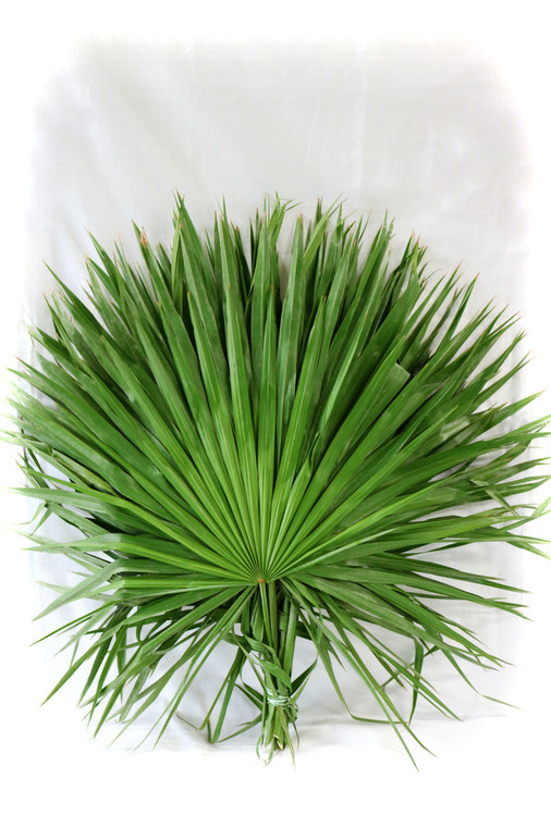 Florida Fan Palm Pack of 6