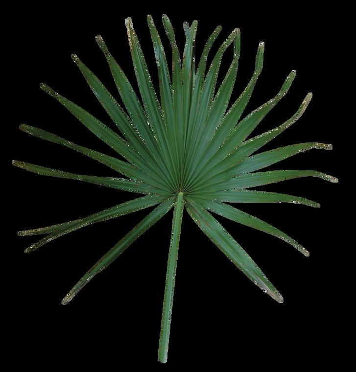 Palmetto Fan Palm Pack of 10