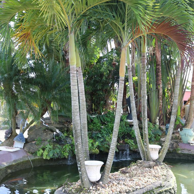 Adonidia Palm - Christmas Palm