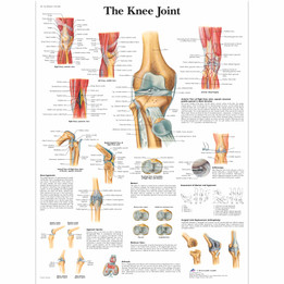 Knee Joint Chart