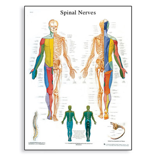 Spinal Nerves Chart