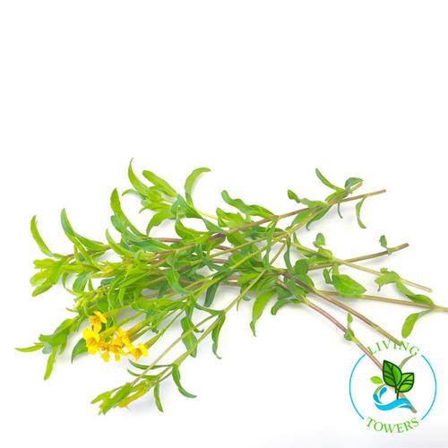Herbs - Tarragon, Mexican