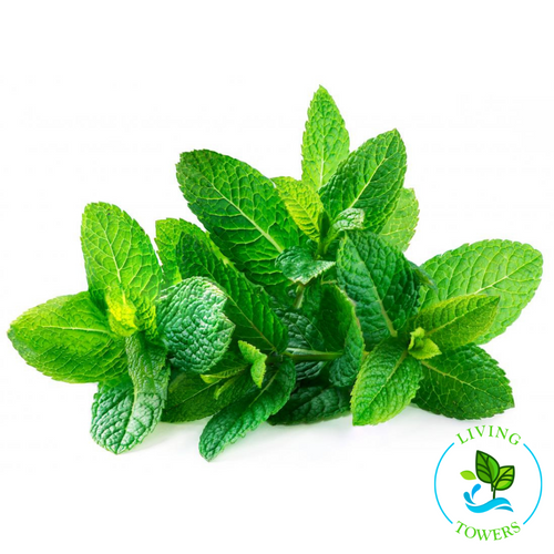 Herbs - Mint, Spearmint