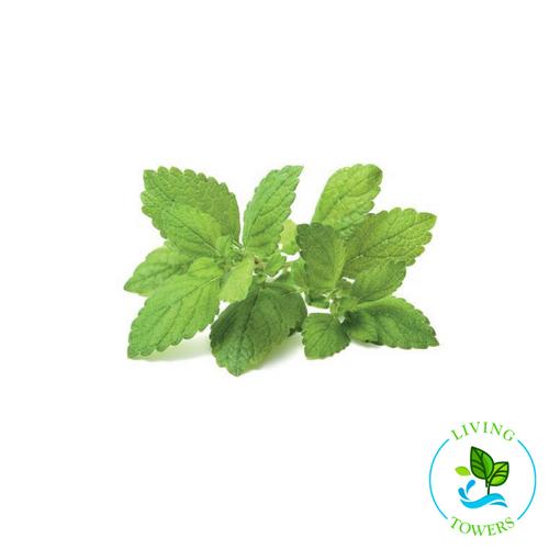 Herbs - Lemon Balm
