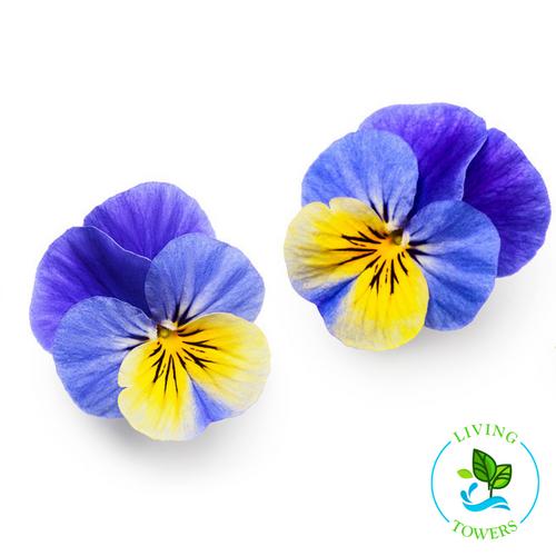 Edible Flowers - Violas