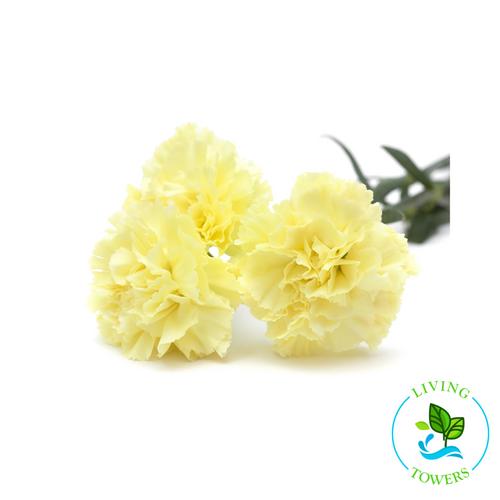 Edible Flowers - Dianthus