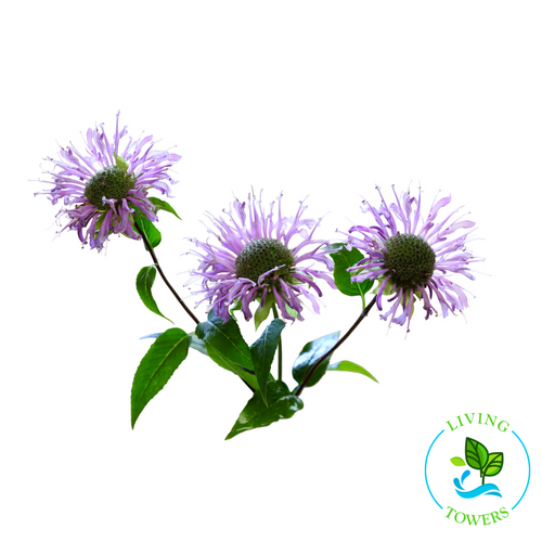 Edible Flowers - Wild Bergamot