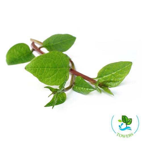 Greens - Malabar Spinach, Red