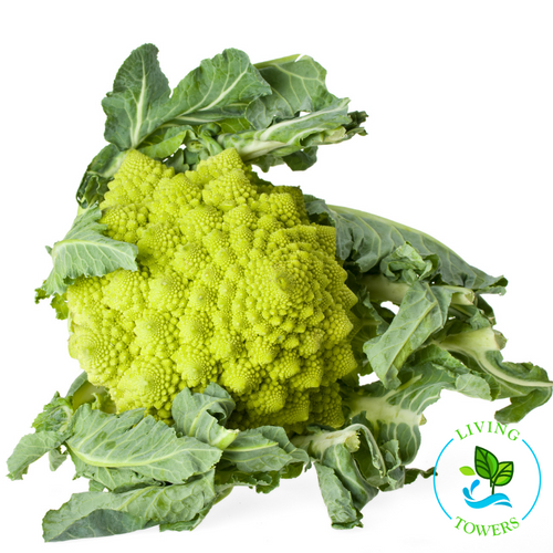 Vegetables - Romanesco, Veronica