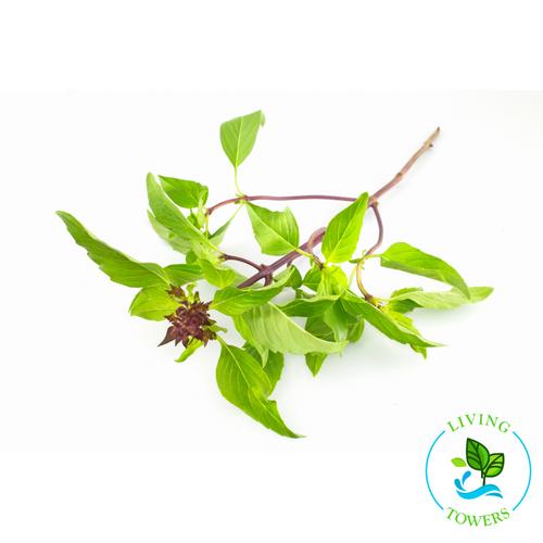 Herbs - Basil, Sweet Thai
