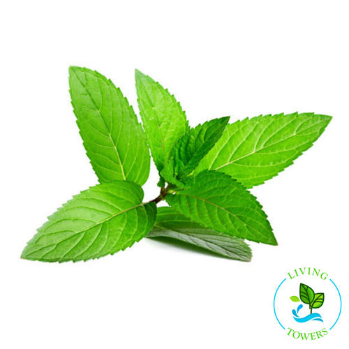 Herbs - Mint, Peppermint