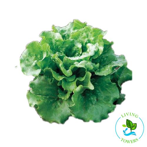 Lettuce - Green Summer Crisp, Concept