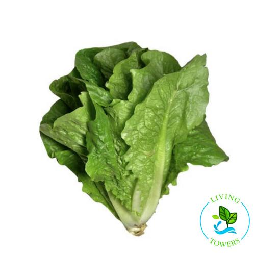 Lettuce - Romaine