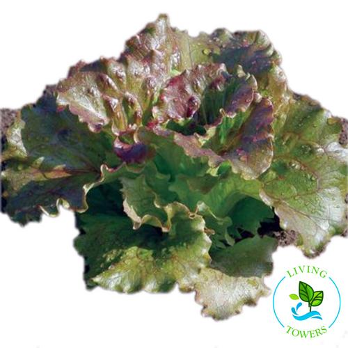 Lettuce - Red Summer Crisp, Magenta