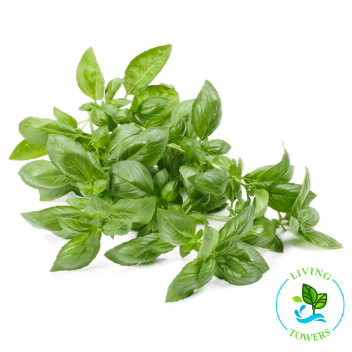 Herbs - Basil, Nufar