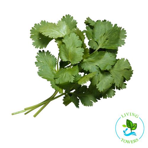 Herbs - Cilantro
