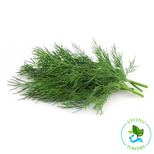 Herbs - Dill