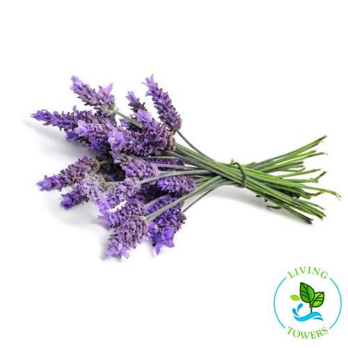 Herbs - Lavender