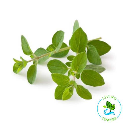 Herbs - Oregano, Greek