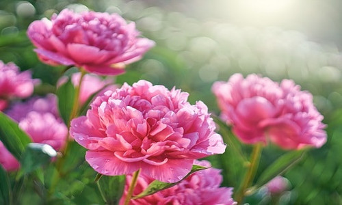 Peony & Blush Suede Fragrance Oil