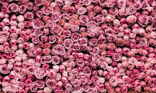 Rose Wonderland