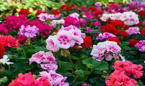 Rose & Geranium Fragrance Oil