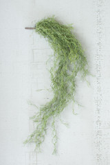 GREEN MOSS VINE