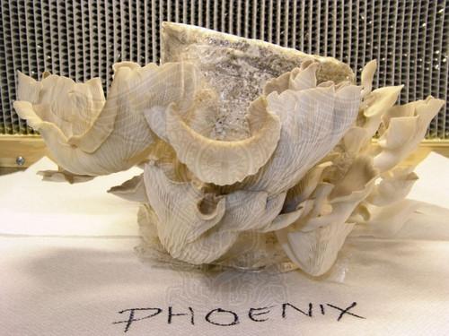 Phoenix Oyster - Pleurotus Pulmonarius Spore print