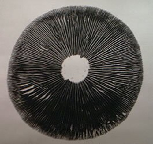 Ps. azurescens: Washington State Spore Print