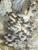 Blue Oyster - Pleurotus Columbinus
