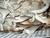 ITALIAN OYSTER - Pleurotus Pulmonarius