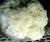 LION'S MANE - Hericium erinaceus