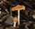 Ps. Cyanescens: Washington State