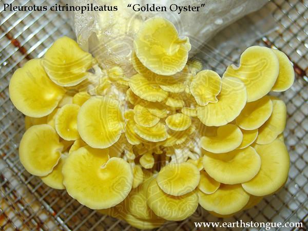 GOLDEN OYSTERS - Pleurotus Citrinopileatus