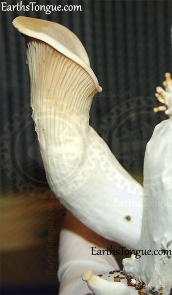 Earth's Tongue ™️ King Oyster - Pleurotus Eryngii