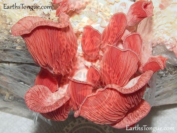 Pink Oyster - Pleurotus Djamor