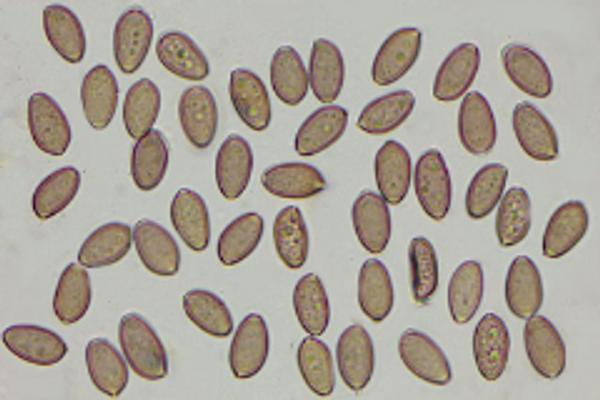 Image of mushroom spores