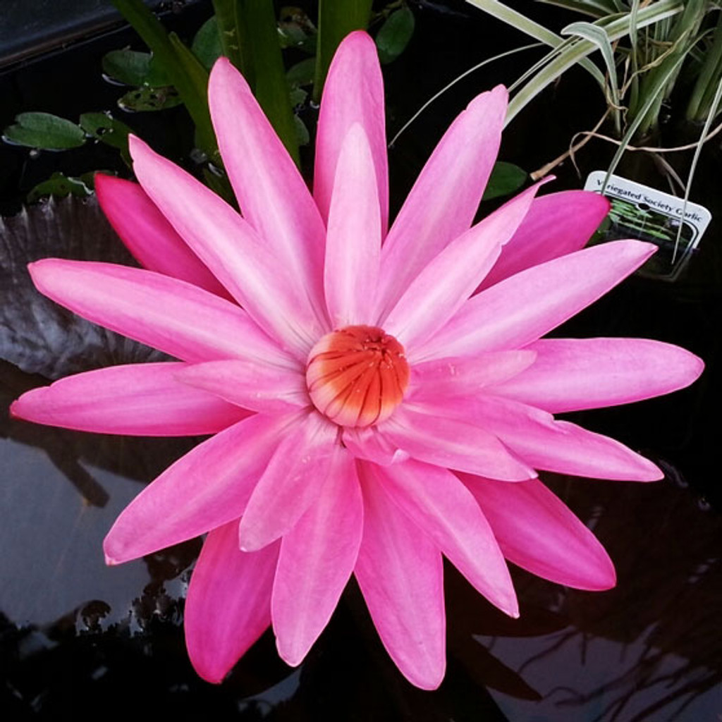 Maroon Beauty (Tropical Night Blooming Water Lily)